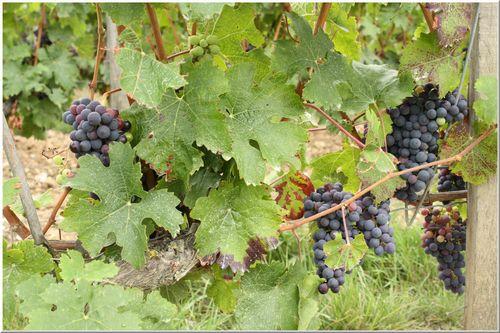 Winevine