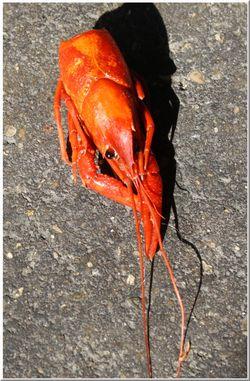Crawfish studies